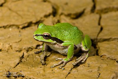 Pacific Tree Frog or Pacific Chorus Frog, Pseudacris regilla, Golden Bluffs, California