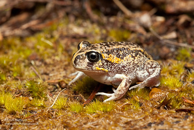 Moaning Frog, Heleioporus eyrei, Walpole, Western Australia