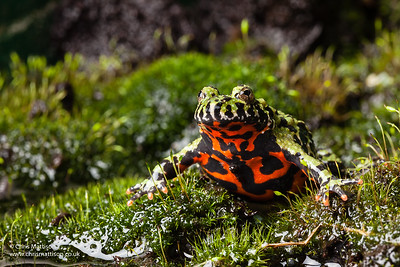 """Oriental Fire-bellied Toad, Bombina orientalis, a popular """"pet"""" species showing warnng coloration on its ventral surface."""