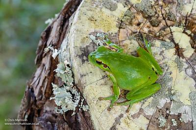 Stripeless, or Mediterranean, Treefrog, Hyla meridionalis. Algarve, Portugal.  Family Hylidae.