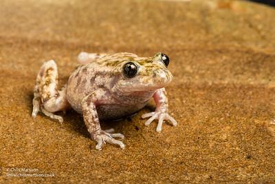 Mallorcan midwife toad, Alytes muletensis. (Alytidae)