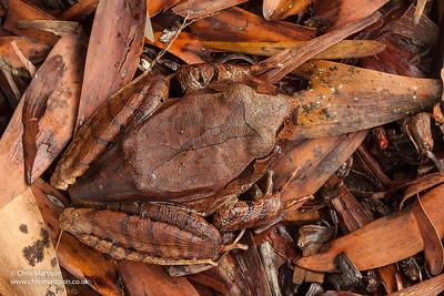 Northern Barred Frog, Mixophyes schevelli, Atherton Tablelands, Queensland, Australia