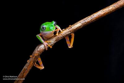 Barred leaf frog or 'Tiger Leg Monkey Tree Frog, Phyllomedusa tomopterna, South America