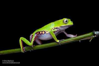White-lined leaf frog, Phyllomedusa vaillantii, South America