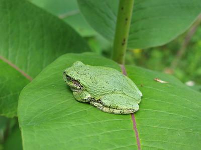 Grey Tree Frog 7