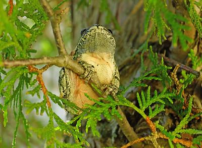 Gray Tree Frog 16