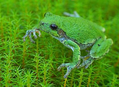 Gray Tree Frog 12