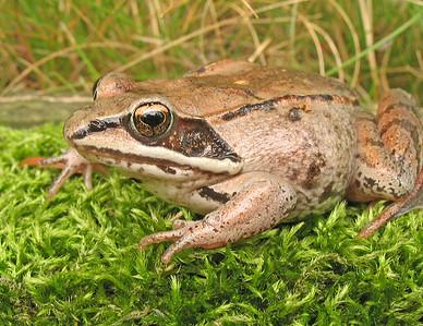 Wood Frog 1