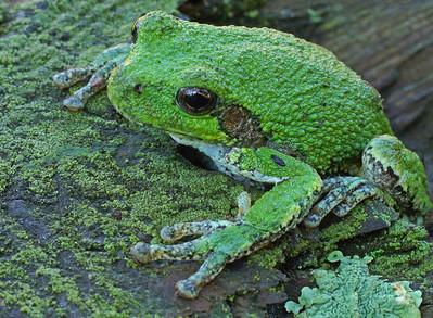 Gray Tree Frog 11