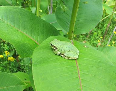 Grey Tree Frog 10
