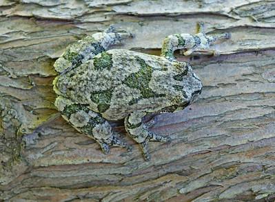 Gray Tree Frog 15
