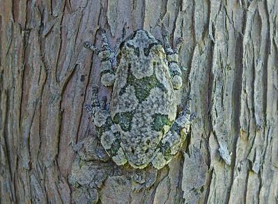 Gray Tree Frog 14