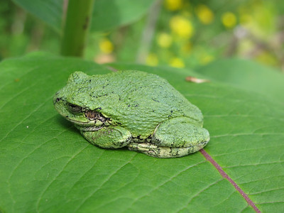 Grey Tree Frog 9