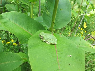 Grey tree Frog 5