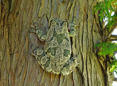 Gray Tree Frog 13