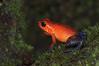 Dendrobates pumilio. Ranita dardo. <br /> Costa Rica