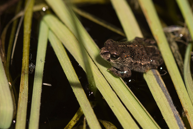 First air steps of a very young toad