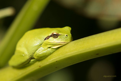 Hyla meridionalis on broad beans in an orchard in Jerez