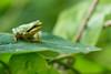 Juvenile tiny Mediterranean Tree Frog on a honeysuckle leaf<br /> Diminuta juvenil de Ranita meridional sobre una hoja de madreselva