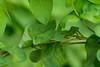Recién salida de la charca este mismo año, una pequeñísima ranita meridional, apenas del tamaño de una uña, explora la jungla de hierbas y lianas cercana camuflada en una madreselva al caer el sol.
