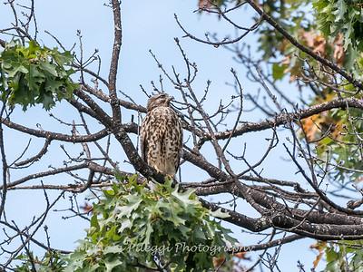 2017 September 14 Hawks birds Frying Pan Park-7563