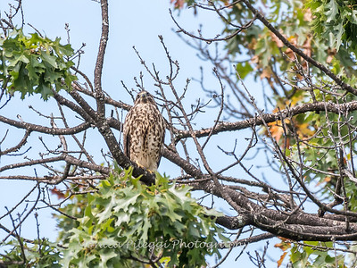 2017 September 14 Hawks birds Frying Pan Park-7569
