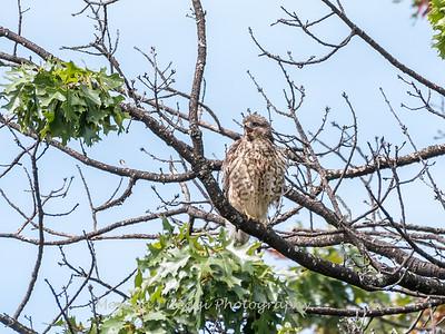 2017 September 14 Hawks birds Frying Pan Park-7560