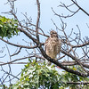 2017 September 14 Hawks birds Frying Pan Park-7560