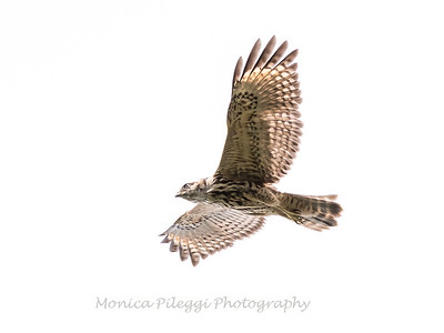 2017 September 14 Hawks birds Frying Pan Park-7530