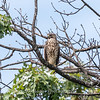 2017 September 14 Hawks birds Frying Pan Park-7558
