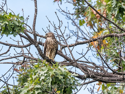 2017 September 14 Hawks birds Frying Pan Park-7574