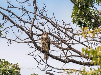 2017 September 14 Hawks birds Frying Pan Park-7547