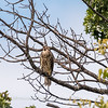 2017 September 14 Hawks birds Frying Pan Park-7547