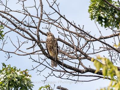 2017 September 14 Hawks birds Frying Pan Park-7550
