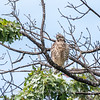 2017 September 14 Hawks birds Frying Pan Park-7561
