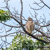 2017 September 14 Hawks birds Frying Pan Park-7562