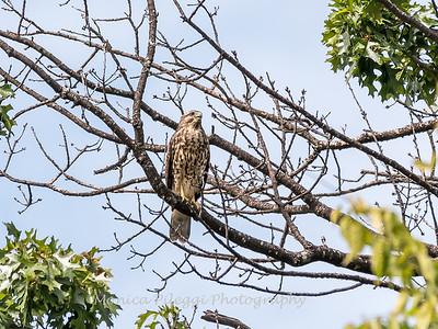 2017 September 14 Hawks birds Frying Pan Park-7552