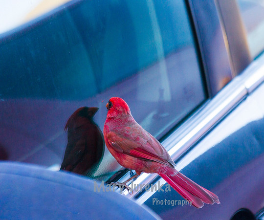 This cardinal was photographed in a hotel parking lot in Overland, Kansas.