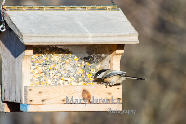 I photographed this Nuthatch from a blind in Chichaqua Bottoms Greenbelt near Elkhart, Iowa.