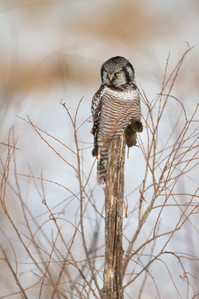 Northern Hawk Owl With Vole, Oak Hammock Marsh, Manitoba