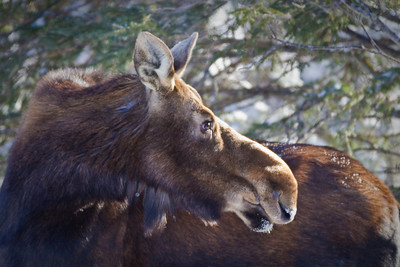 Winter Moose, Riding Mountain National Park