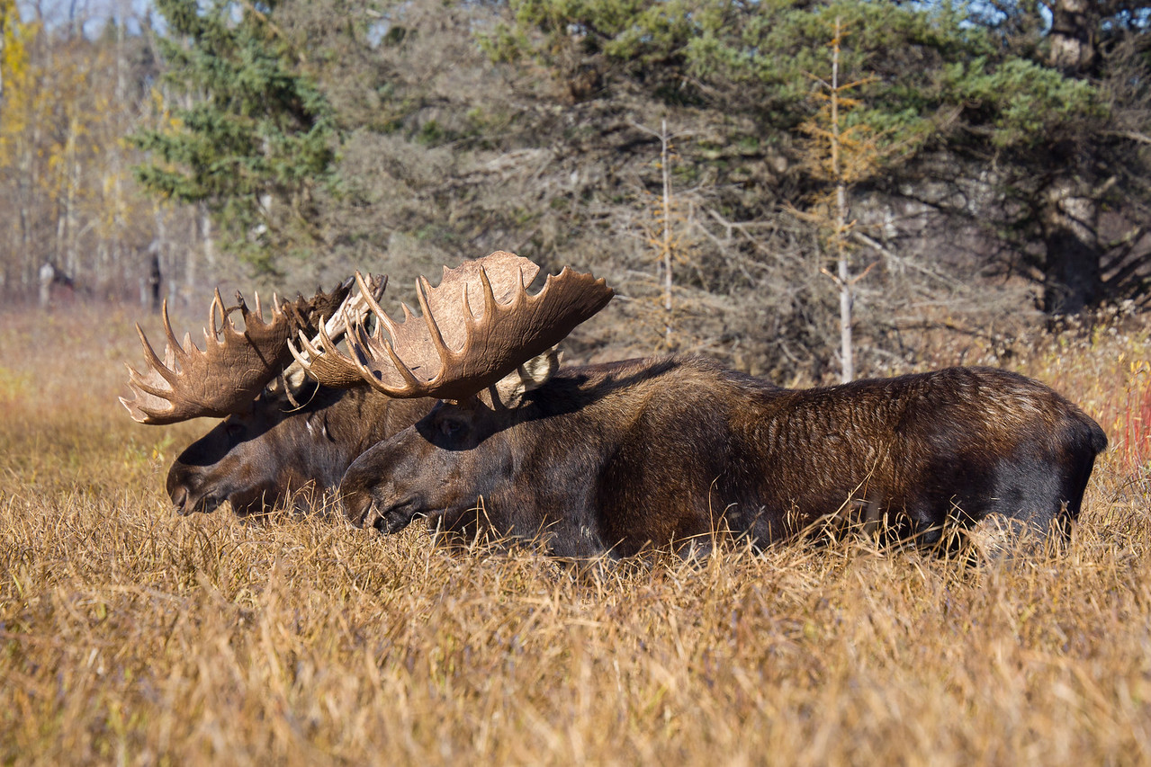 Two Bull Moose, Riding Mountain National Park, Manitoba