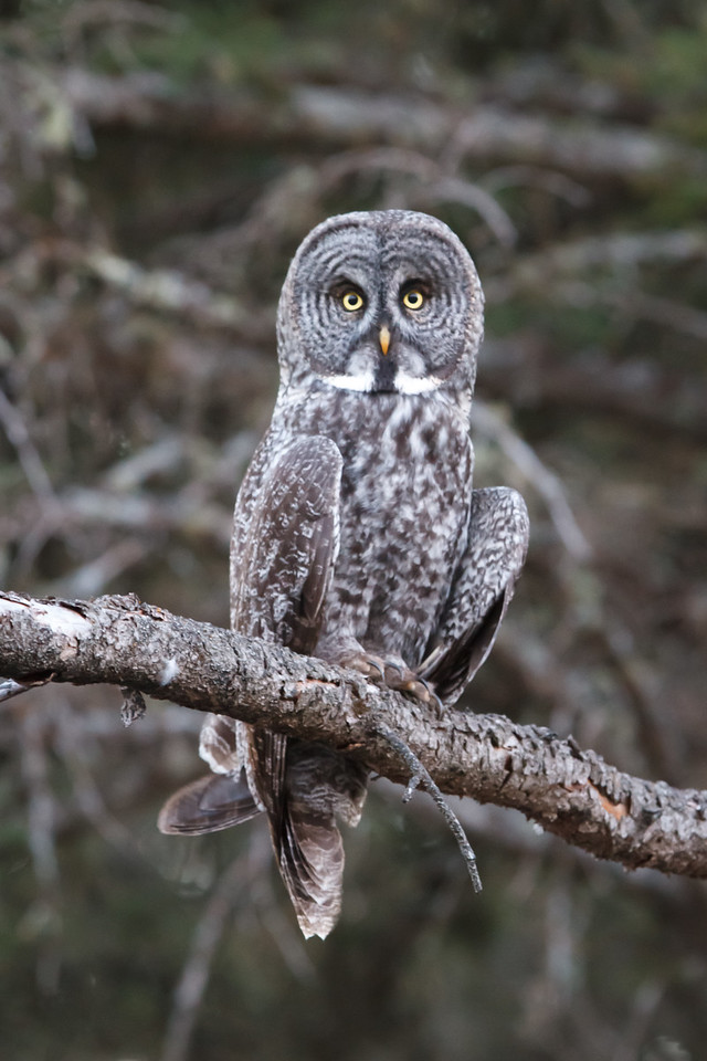 Great Grey Owl, Riding Mountain National Park