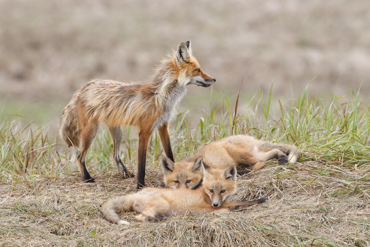 Fox with Kits, Erickson Manitoba