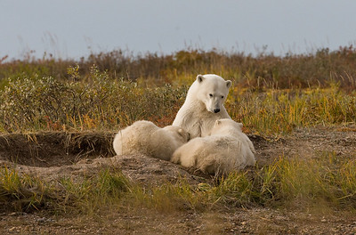 Female Polar Bear with Two Nursing Cubs, Nanuk Polar Bear Lodge, Manitoba