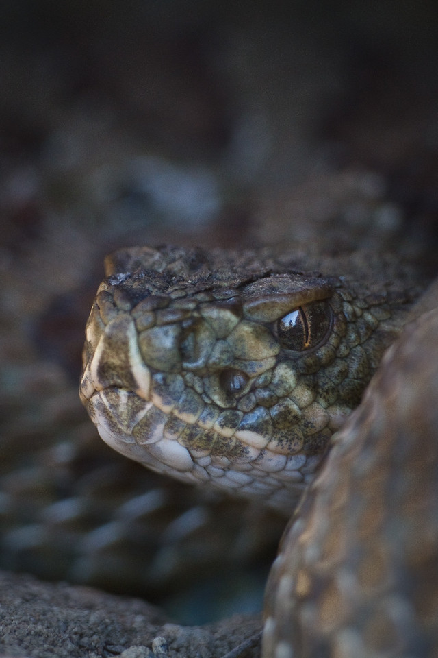 Prairie Rattlesnake, Grasslands National Park, Saskatchewan