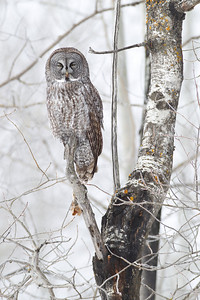 Great Grey Owl in Early Morning Fog
