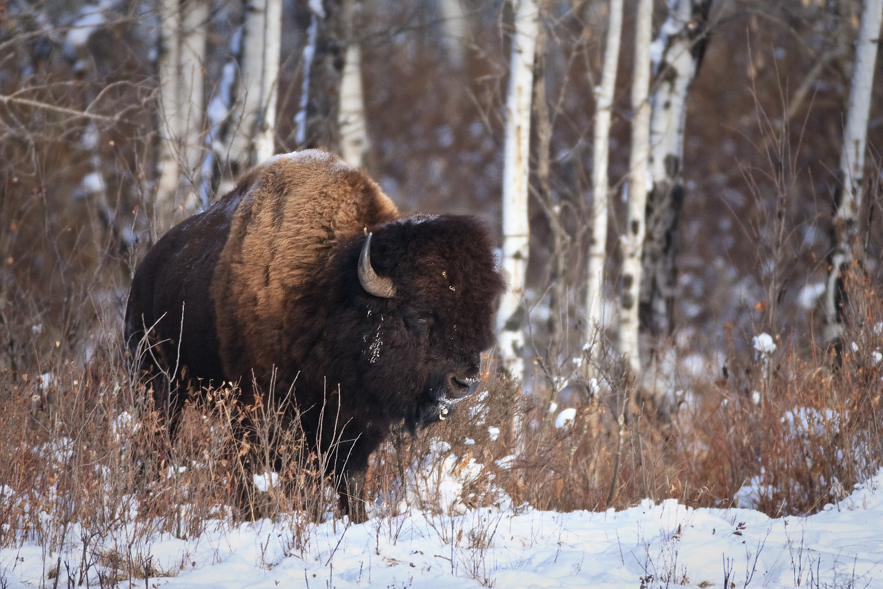 Bison, Riding Mountain National Park, Manitoba