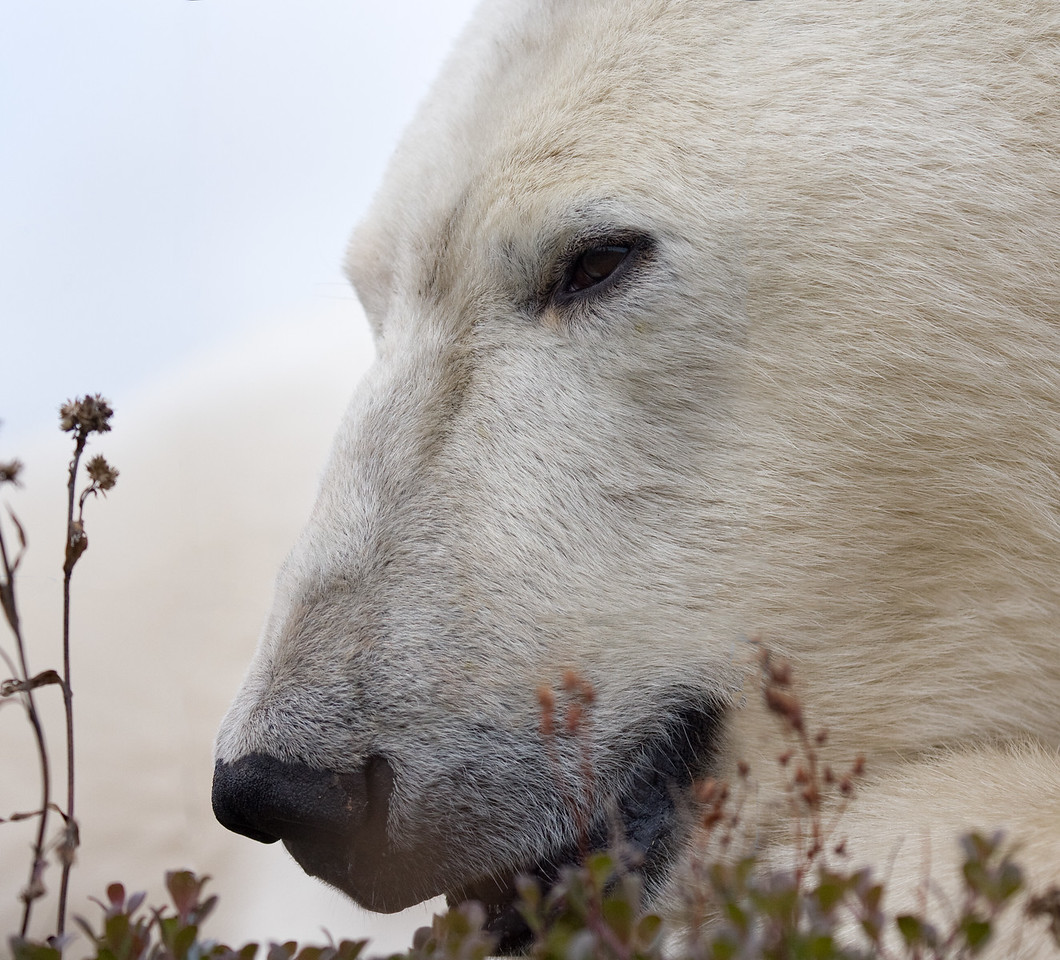 Polar Bear, Northern Manitoba