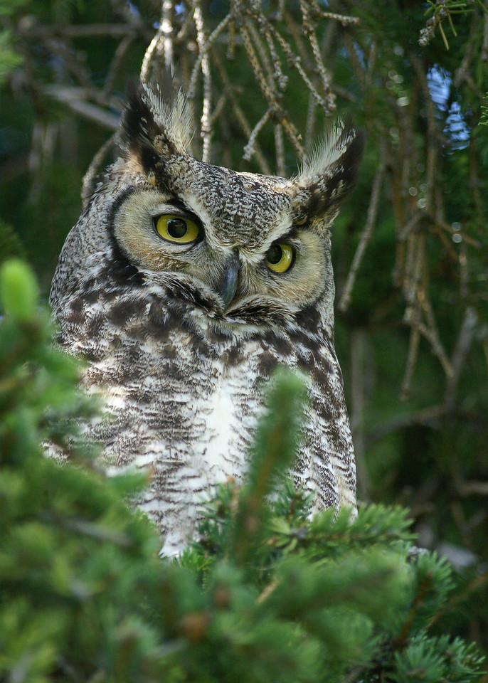 Great Horned Owl, Cypress Hills Saskatchewan